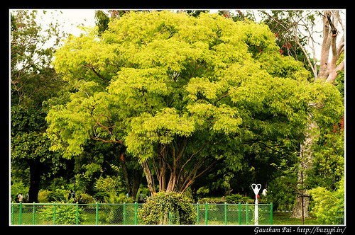 A tree in Lalbagh